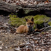 A Red Fox Kit 5/1/20
