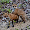 A Red Fox Kit With His Mother 5/13/20
