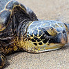 Hawaiian Honu