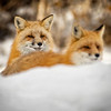Two Red Foxes in the Snow