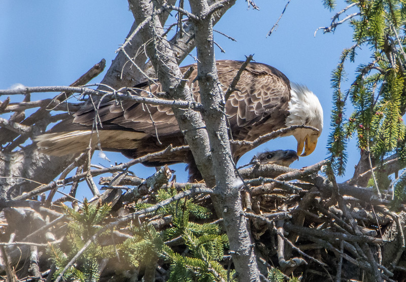 Adult Bald Eagle Feeding Eaglet 4/18/16