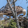 Adult Bald Eagle Feeding Eaglet 4/18/16