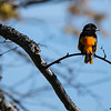 Perched Baltimore Oriole