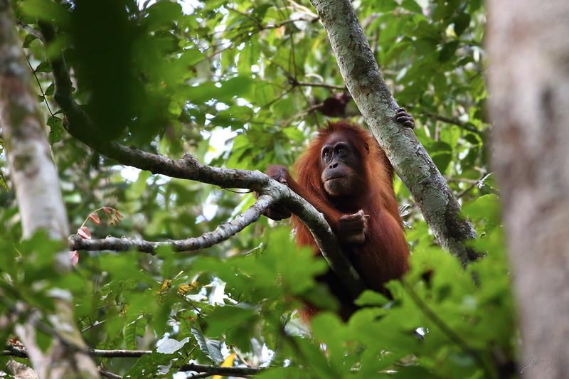 Wild Female Orangutan