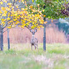A White-Tailed Deer 10/20/16