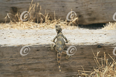 Rough Tail Rock Agama Climbing Railroad Tie Steps
