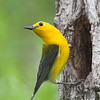 Prothonotary Warbler, Chatham County, NC