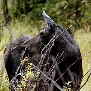 Female Moose in the Rain - Rawah Valley, Colorado