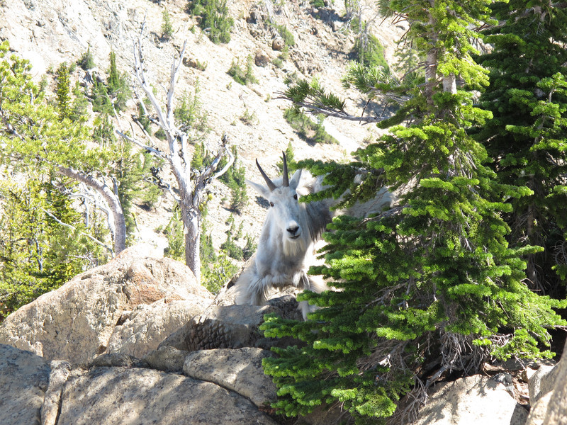 Mountain Goat, Ingalls, Washington State