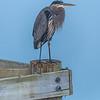 Great Blue Heron at Manasquan Reservoir 11/2/17