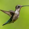 Ruby-Throated Hummingbird 7/29/16