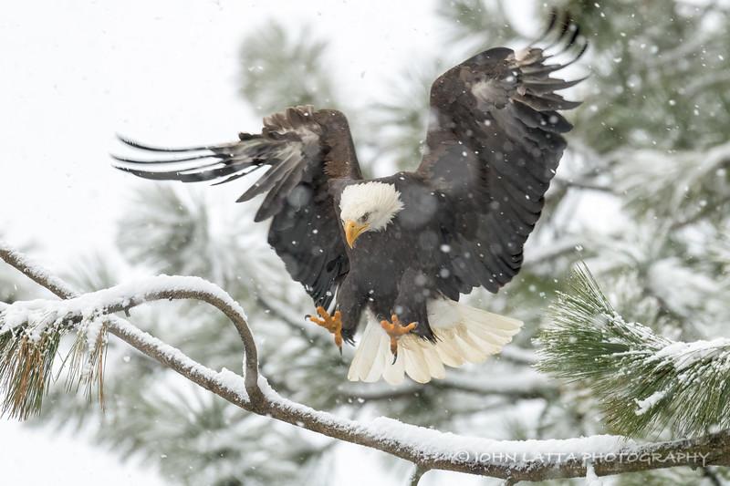 Eagle Focused on Landing