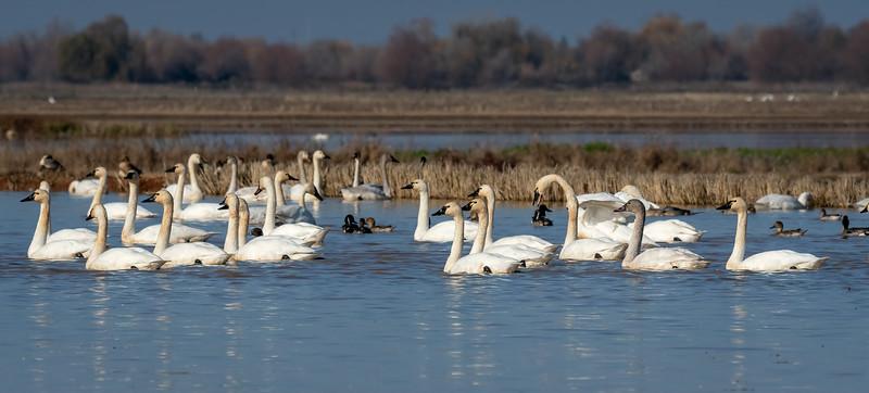 Tundra Swans 5465