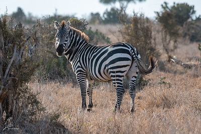 Zebra, Plains (spp. boehmi)