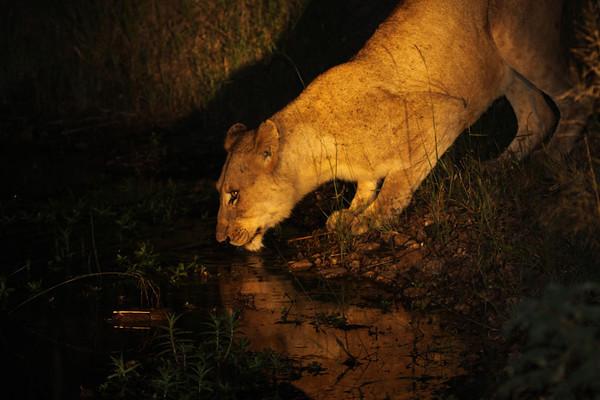 Night lioness