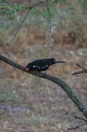 Buffalo-Weaver, Red-billed (ssp. intermedius)