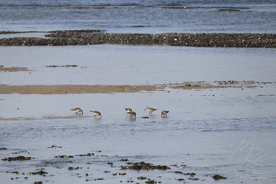 Foraging Sandpipers