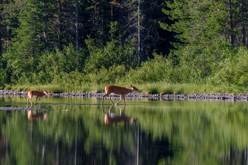 Deer and fawn in the early morning light at Fishercap Lake, Glacier National Park, Montana