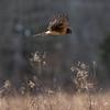 Northern Harrier in Flight 1/6/17