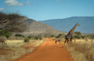 Giraffe Mother and Baby Crossing the Road
