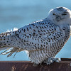 A Snowy Owl Perched On Guard Rail 12/8/20
