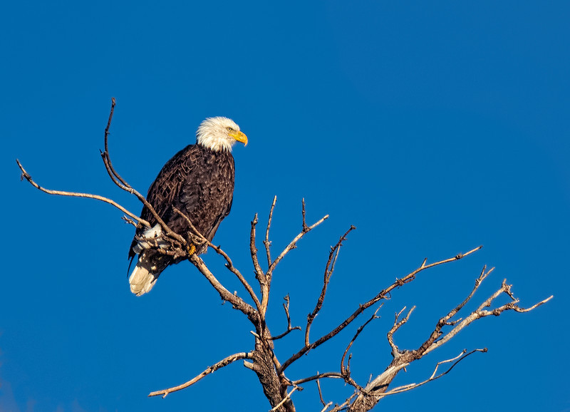 Wintering Bald Eagle Gazing