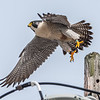 Peregrine Falcon Taking Off 12/21/16