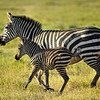 Zebra and Foal, Kenya, East Africa