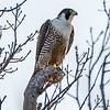 Peregrine Falcon 4/16/17