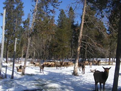 Feeding Elk 0109 (15)