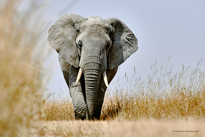 6750 Elephant Charge