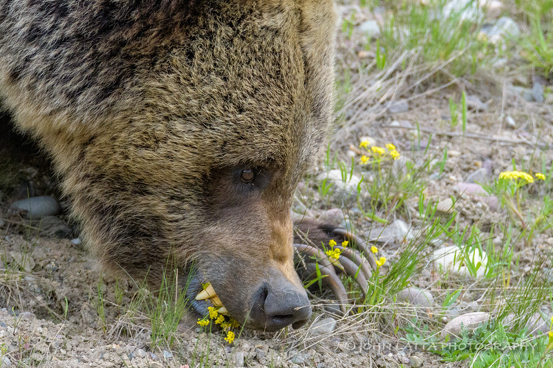 Close-Up of Grizzly Subadult Feeding on Wild Parsley