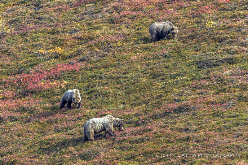 Grizzly Sow and Cubs