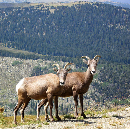 IMAGE: http://ct1co2.smugmug.com/Other/Summer-2012/i-nfQ8Dhm/0/M/Bighorn-Sheep2-M.jpg