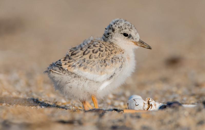 Least Tern Chick 6/27/16