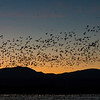 Snow Geese at Sunset 3935