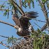 Bald Eagle Takeoff 7/23/17