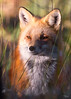 Red Fox, Colorado