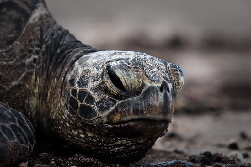 Honu - Green Sea Turtle