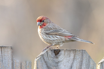 392- House Finch