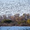 Snow Geese 6145