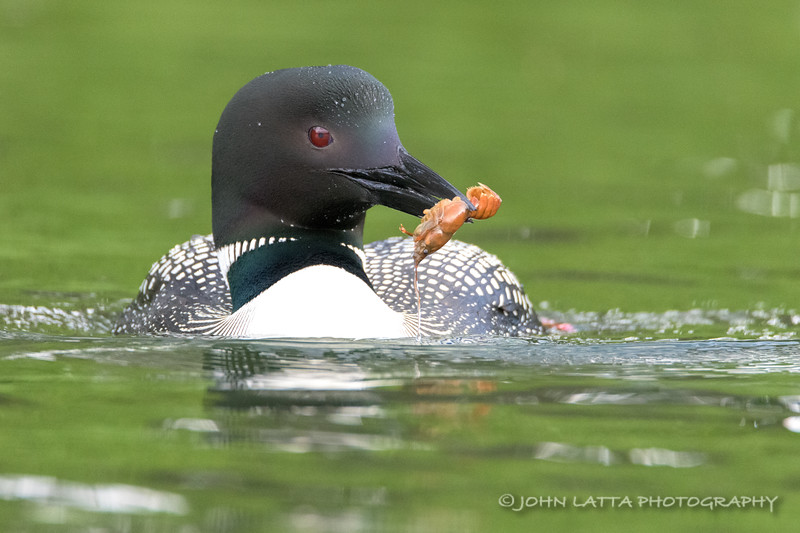 Male Loon with Crayfish