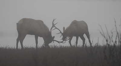 Tule Elk Play Fighting
