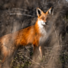 Red Fox in Dark Light