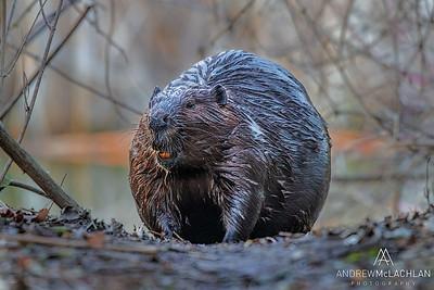 Beaver (Castor canadensis), Humber Bay Park, Toronto, Ontario, Canada