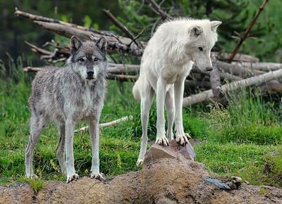 Wolf Pals