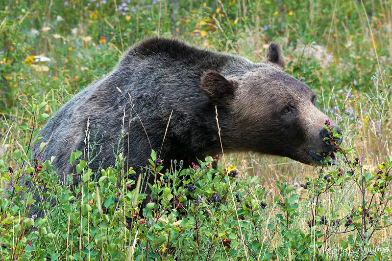 Saskatoon Berries - Just What Bears Love