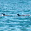 Dolphins at Ocean Grove Beach 6/17/18