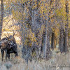 Bull Moose After Thrashing Cottonwood Branches