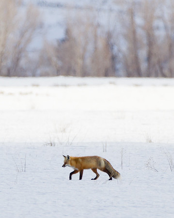 Red Fox | Grand Teton National Park | Wyoming